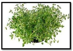 herba timi 2