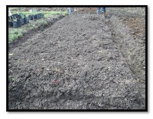 pengolahan lahan budidaya jahe